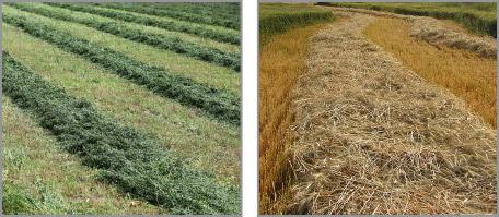 Grass Forage Crops